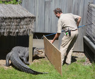 Guard of Granby Zoo. GRANBY QUEBEC CANADA 05 31 17: Guard of Granby Zoo try to change an alligator of and enclosure. Granby Zoo in Granby, Quebec and is one of Stock Photography