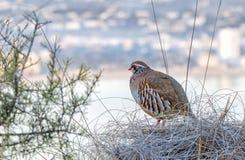 Guard Grey partridge Stock Photos