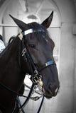Guard Horse. Close up of a London Guard Horse stock image
