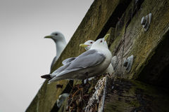 Guard the nest. A Black Tip Gull sits on its nest Royalty Free Stock Photography