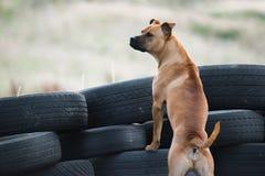 Guard Dog On Duty Royalty Free Stock Image
