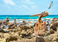 Guard pelican. On a caribbean beach a wary pelican keeps his eyes on the stranger Stock Photo