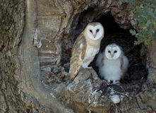 On guard. Sibling Barn Owl owlets waiting for their parents and dinner time. Suffolk Royalty Free Stock Photography