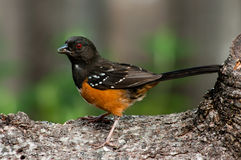 On Guard. Spotted Towhee (Pipilo maculatus Royalty Free Stock Photos