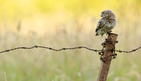 On guard. A wild little owl sitting on a barbed wire fence Stock Photo