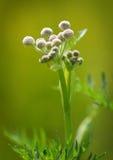 A guarda florestal abotoa a flor Fotos de Stock