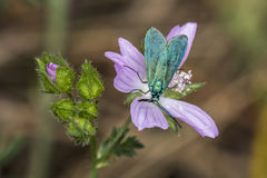 Guarda florestal verde (statices de Adscita) Fotos de Stock Royalty Free