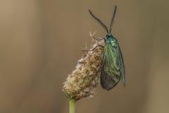 Guarda florestal verde (statices de Adscita) Fotografia de Stock