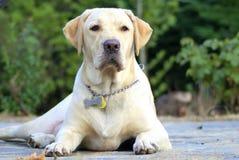 Guarda Labrador Fotos de archivo
