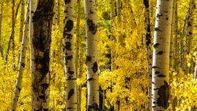 Guardando attraverso le tremule gialle Fotografia Stock Libera da Diritti