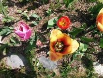Guardando giù i tulipani colorati Immagine Stock