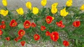 Guardando giù nel tulipano si dirige Fotografia Stock Libera da Diritti
