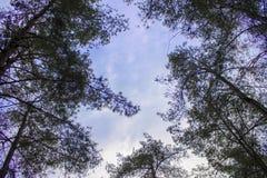 Guardando il cielo allini gli alberi Fotografia Stock