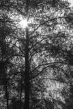 Guardando il cielo allini gli alberi Fotografie Stock