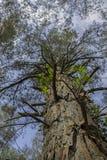 Guardando il cielo allini gli alberi Fotografie Stock Libere da Diritti