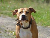 Guardando o cão do pitbull Fotos de Stock