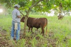 Guardando o gado pela corda fotografia de stock royalty free