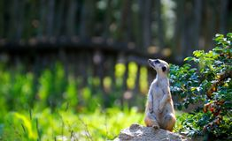 Guardando o meerkat Imagem de Stock