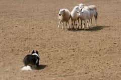 Guardando os carneiros Fotos de Stock