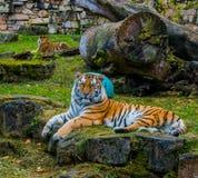 Guardando tigres imagens de stock