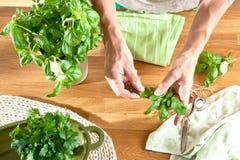 Guardando uma folha das mãos masculinas de uma planta da manjericão imagens de stock royalty free