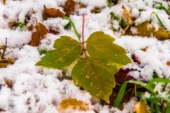 Guardando uma folha na neve, a primeira neve imagem de stock