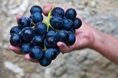 Guardando uvas da colheita Fotografia de Stock Royalty Free