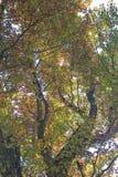 Guardando verso il cielo tramite le foglie di caduta Fotografia Stock Libera da Diritti