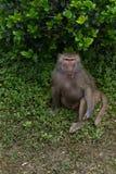 Guardare fisso dei hamadryas del sguardo-Papio Fotografia Stock