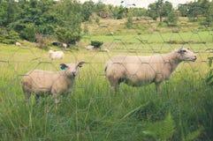 Guardare fisso la moltitudine delle pecore Fotografia Stock Libera da Diritti