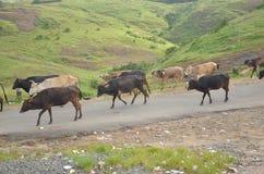 Guardare fisso le mucche Fotografie Stock