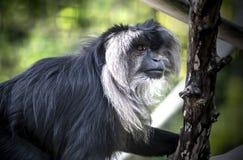Guardare fisso macaco Fotografia Stock Libera da Diritti