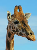 Guardare giraffa fisso Fotografia Stock Libera da Diritti