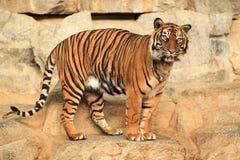 Guardare tigre fisso Immagine Stock Libera da Diritti