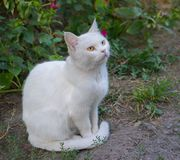 Guarded white cat Royalty Free Stock Photos