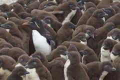 Guardería del pingüino de Rockhopper - Falkland Islands Imágenes de archivo libres de regalías