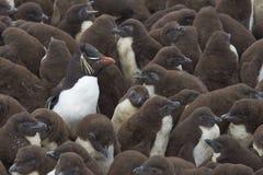 Guardería del pingüino de Rockhopper - Falkland Islands Fotografía de archivo