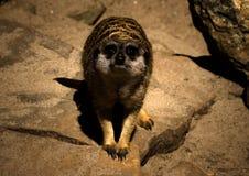 Guardi di meerkat Fotografie Stock