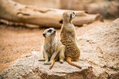 Guardia de Meerkats Foto de archivo libre de regalías