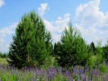 Guardia del pino Fotografia Stock