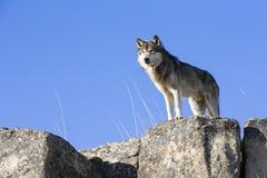 Guardia di condizione dell'alfa maschio su roccia Fotografia Stock