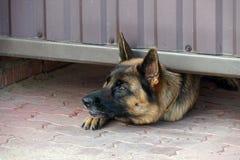 Guardia Dog Fotografía de archivo