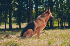 Guardia Dog fotografie stock