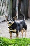 Guardia Dog Fotografía de archivo libre de regalías