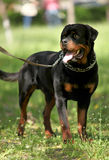 Guardia Dog di Deutsch Rottweiler fotografia stock