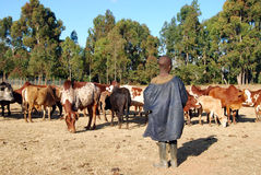 The guardian of cows - Tanzania - Africa Stock Image