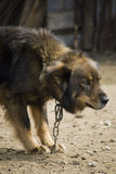 Guardian dog. Dog guarding a farm in the countryside Stock Images