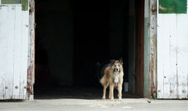 Guardian dog standing at the opened barn doors. The guardian dog standing at the opened barn doors Stock Photography