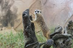 The Guardian. Meerkat Standing on Tree Limbs royalty free stock photo