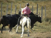 Guardiano che guida il gregge del toro immagine stock libera da diritti